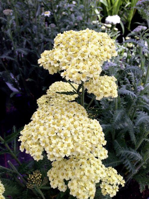 achillea millefolium yarrow yellow