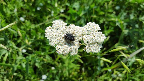 achillea millefolium yarrow epicometis hirta