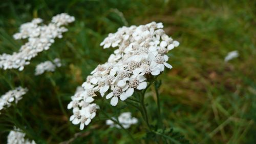 achillea millefolium yarrow common yarrow