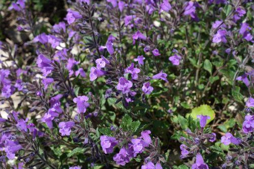 acinos alpinus flower blossom