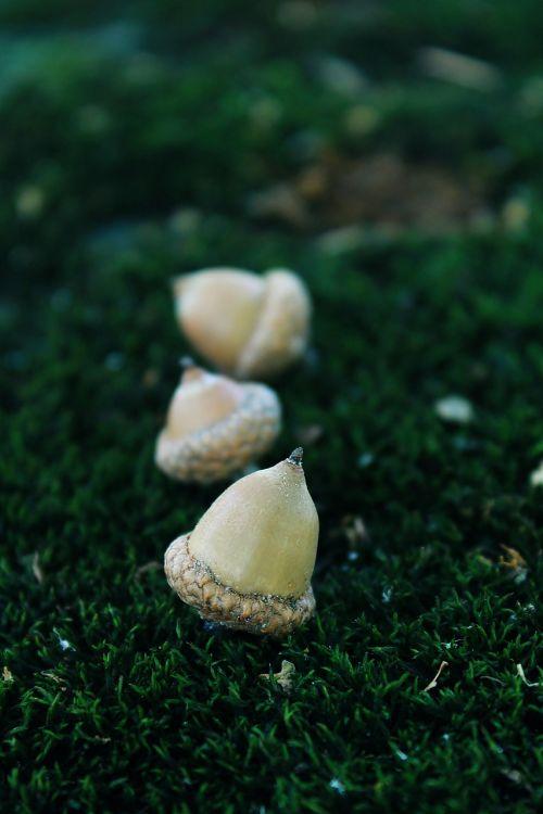 acorn moss nature