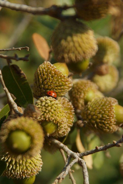acorn quercus ithaburensis mount thabor's oak