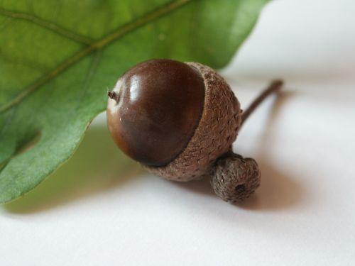 acorn autumn brown