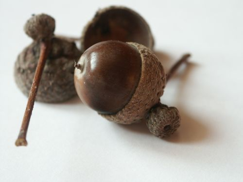 acorn brown autumn