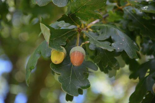 acorn leaves oak acorn green