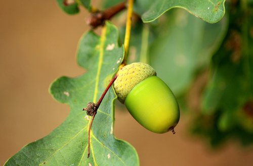 acorn  oak  seedpod