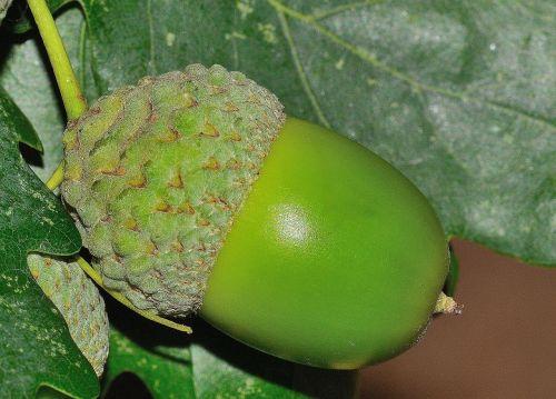 acorn nature quercus