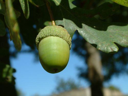 acorn tree nut