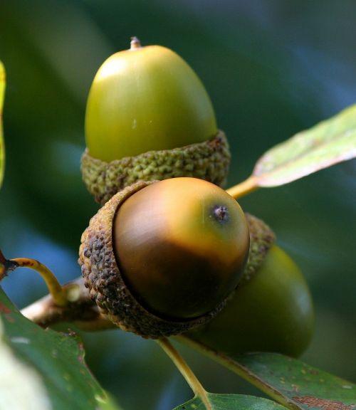 acorn cluster oak seed nut
