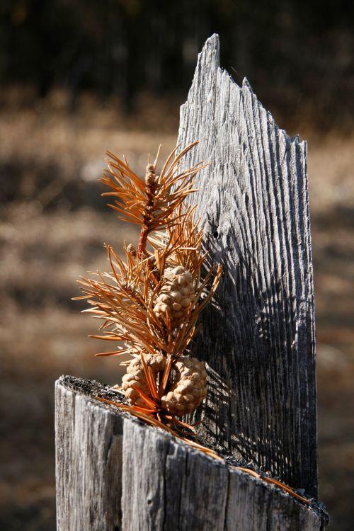 Acorn Tree Stump