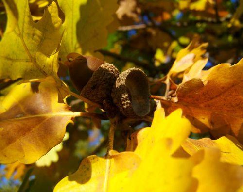 acorns yellowed oak leaves autumn