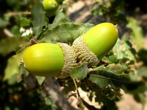 acorns oak tree