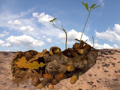 acorns seedlings leaves