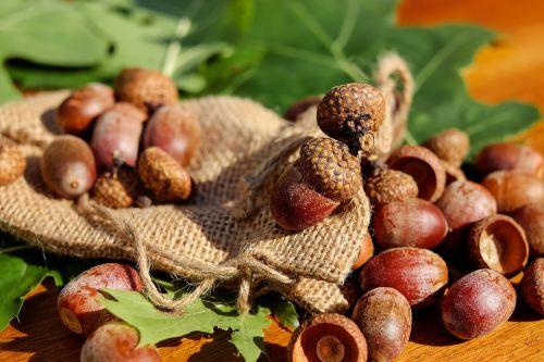 acorns tree fruit fruits