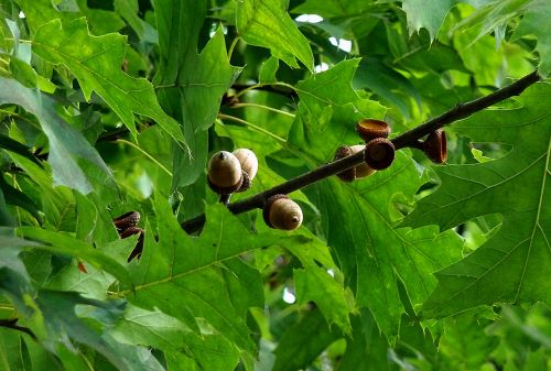 acorns oak nature