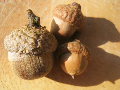acorns autumn brown