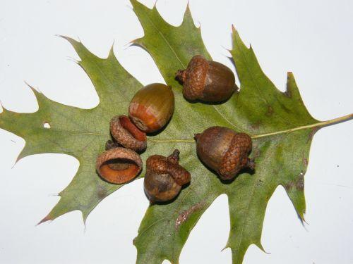 acorns fruits brown