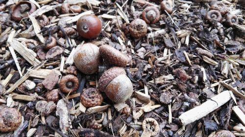 acorns forest floor autumn
