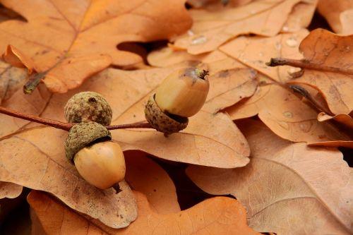 acorns acorn autumn leaves