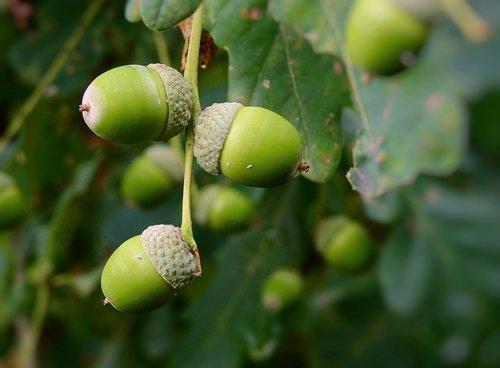 acorns  tree  oak