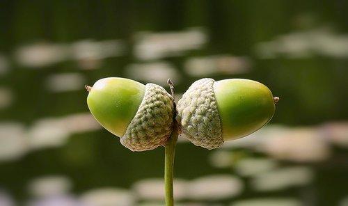 acorns  nature  oak