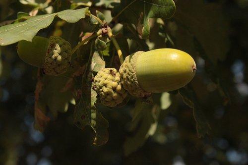 acorns  oak  summer