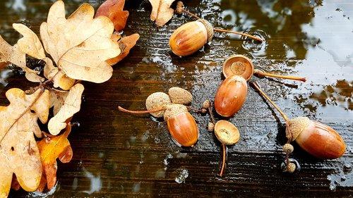 acorns  leaves  autumn