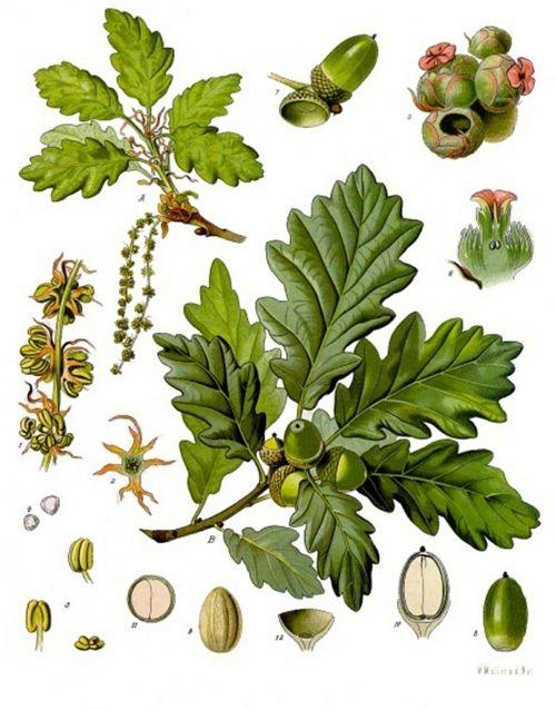 acorns oak plants