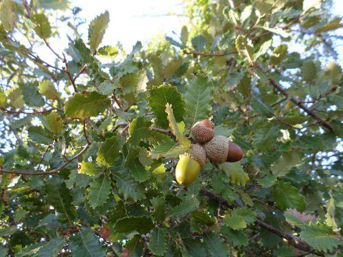 acorns tree field
