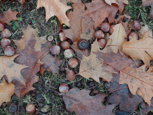 acorns autumn oak