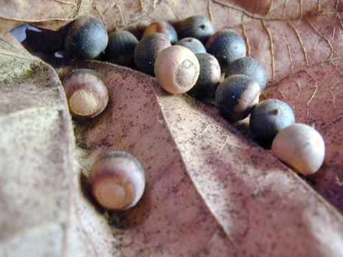 Acorns On Leaf