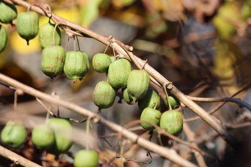 actinidia kolomikta  actinidia  kiwi