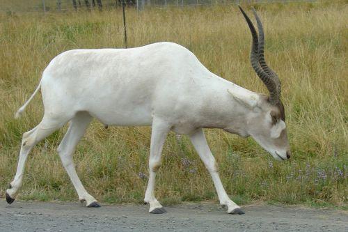 addax antelope white