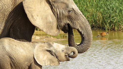 addo elephant park elephant africa