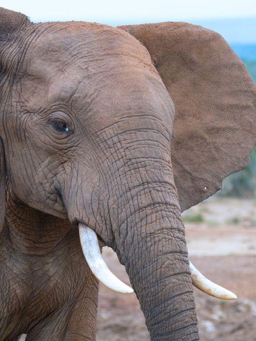 addo national park elephant south africa