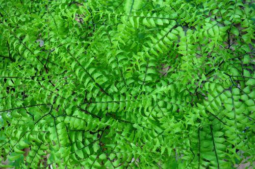 adiantum pedatum northern maidenhair fern five-fingered fern