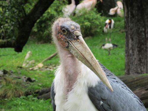 adjutant bird stand creature