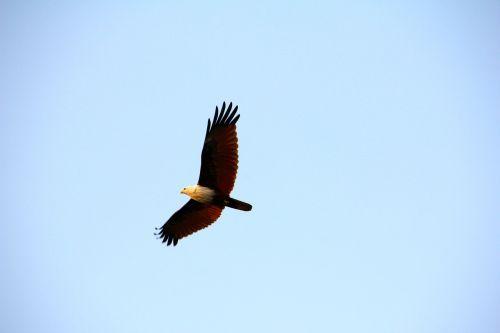 adler white tailed eagle raptor