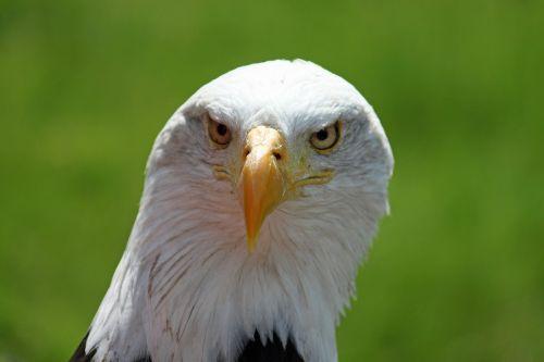 adler white tailed eagle white