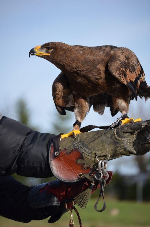 adler brown eagle bird