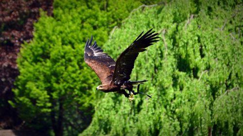 adler bird raptor