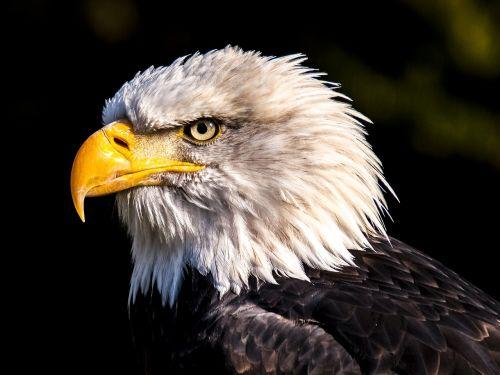 adler white tailed eagle bald eagle
