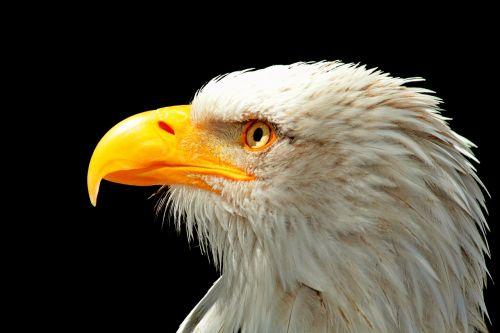 adler bald eagle raptor