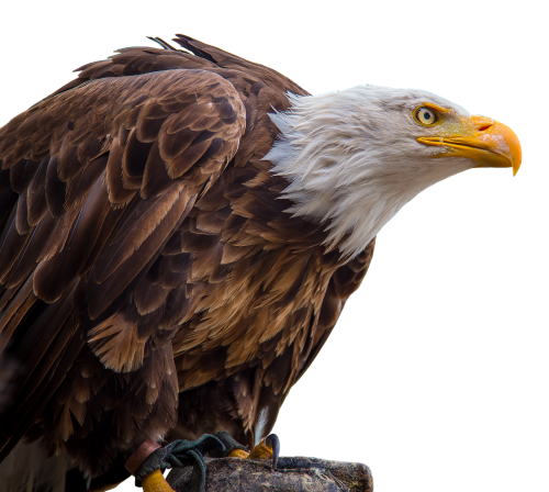 adler white tailed eagle bald-eagle