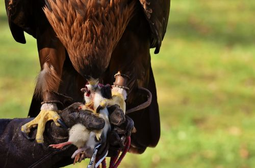 adler raptor prey