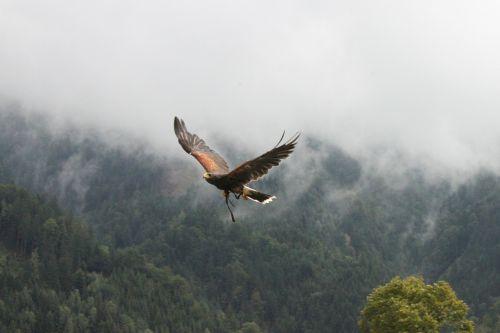 adler fog raptor