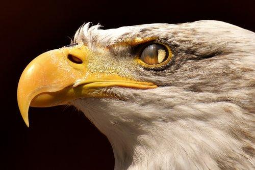 adler  bald eagle  blink