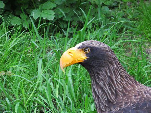 adler bird of prey raptor
