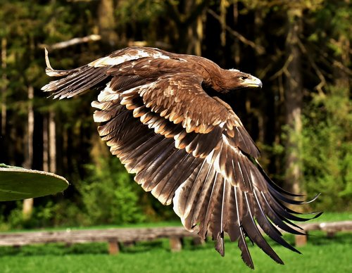 adler  raptor  bird of prey