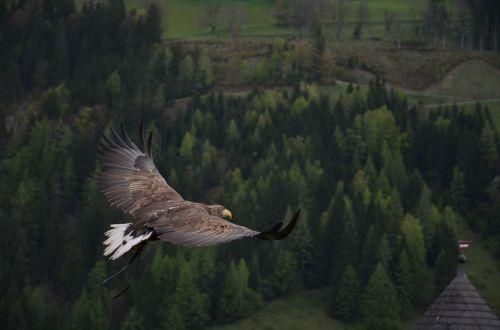 adler bird bird of prey